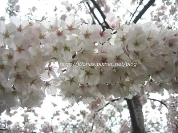 Cherry Blossom in Washington DC-1.JPG