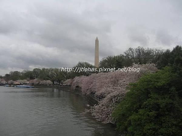 Cherry Blossom in Washington DC-7.JPG