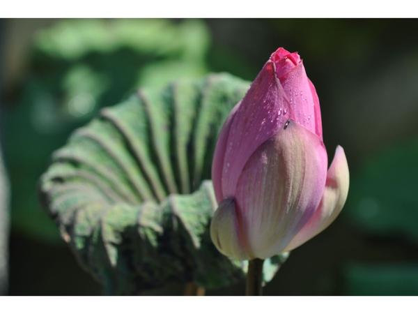 植物園的荷 (1).jpg