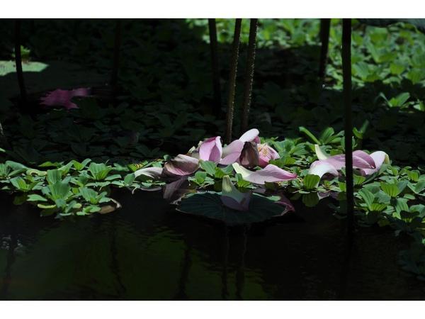 植物園的荷 (10).jpg