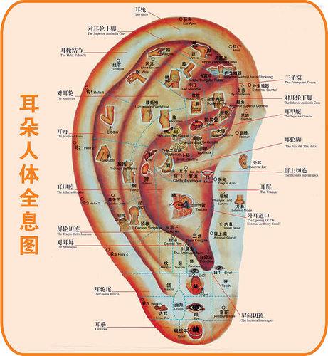 耳朵人體穴道參考圖.jpg