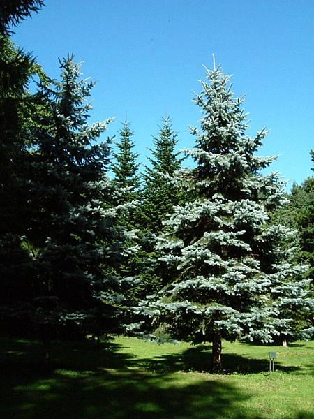 植物園裡的耶誕樹
