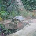 很大隻的巴西什麼龜
