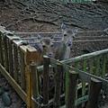 2隻等吃的梅花鹿