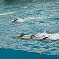 海豚倒著游
