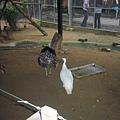 很兇的火雞和白孔雀