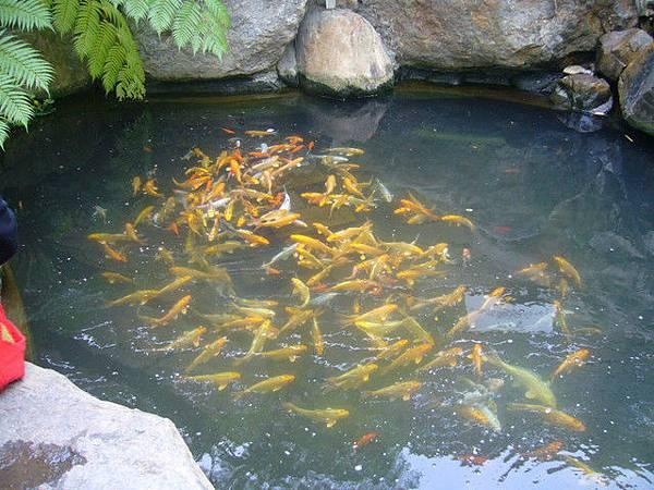 古坑的鯉魚池