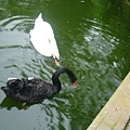 黑白天鵝來搶吃