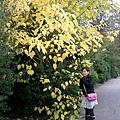 樹都黃了耶