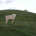 綿羊很可愛