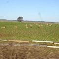 好多的綿羊