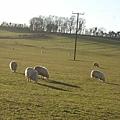 一大片草地  一堆綿羊  看了就是很舒服