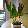 20070225 tulip含苞 003.JPG