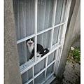 20070703 打哈欠的貓