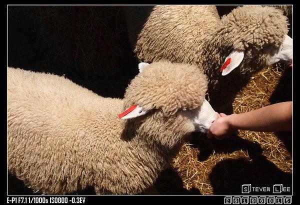 這張100分 綿羊實在是太可愛了啊!!