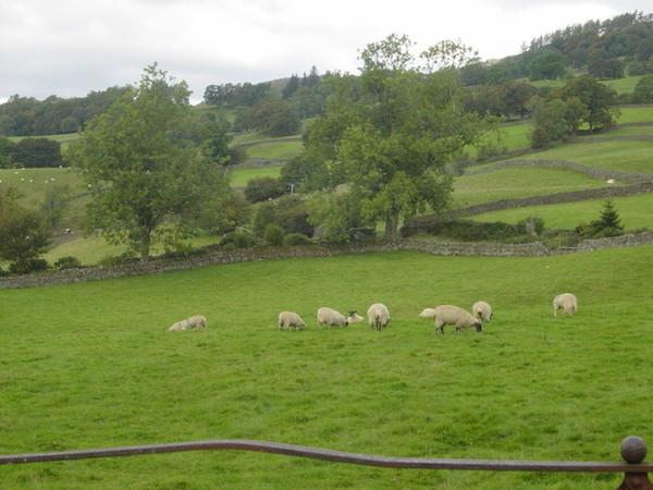 沿途都是可愛的羊群