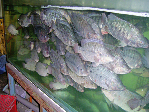 五股大釣蝦
