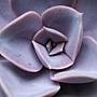 """猜猜誰""""花心""""→紐倫堡珍珠Echeveria cv. Perle von Nürnberg"""
