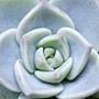"猜猜誰""花心""→白牡丹× Graptoveria 'Titubans'"