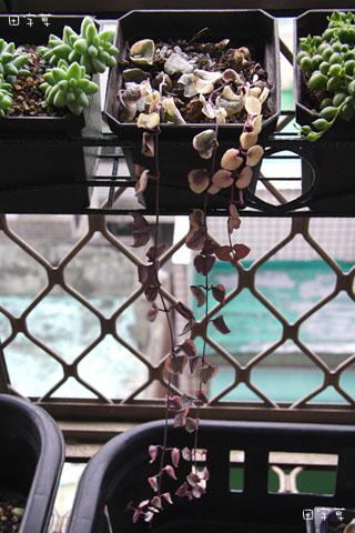 廚房窗台垂吊多肉區→愛之蔓錦 Ceropegia woodii f. variegata