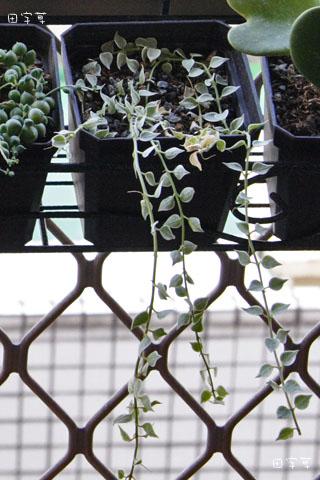 廚房窗台垂吊多肉區→斑葉百萬心 Dischidia ruscifolia
