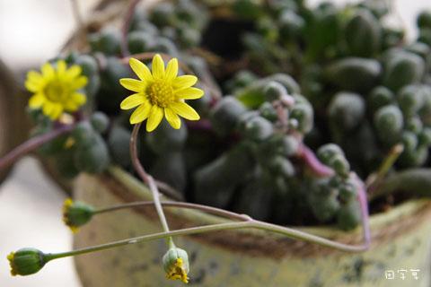 我等到花兒都開了→黃花新月101_0229