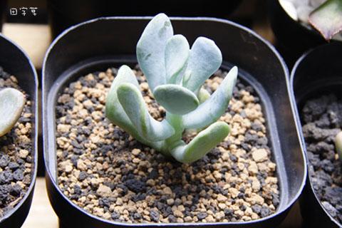 快樂的母親節→Sedum allantoides var. goldii