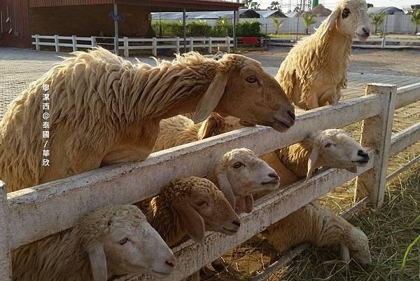 華欣/Swiss Sheep Farm Cha-am