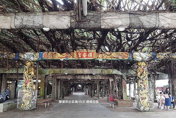 【澎湖/白沙】通樑古榕