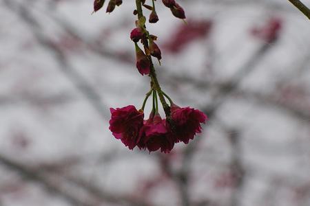 金針山賞櫻