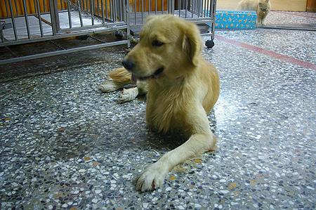 少一隻腳的黃金獵犬
