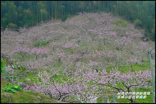 五峰山區沿路櫻花開2.JPG