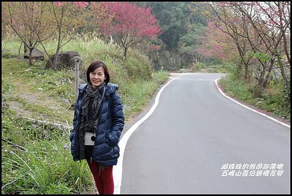 五峰山區沿路櫻花開11.JPG