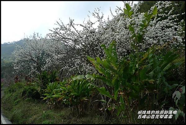 五峰山區沿路櫻花開14.JPG