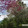 五峰山區沿路櫻花開17.JPG