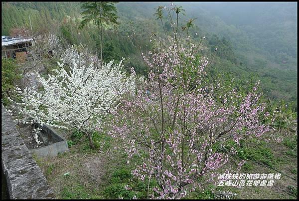 五峰山區沿路櫻花開18.JPG