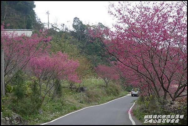 五峰山區沿路櫻花開20.JPG