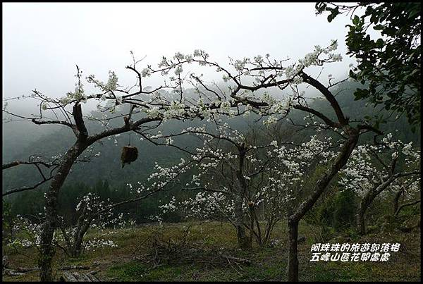 五峰山區沿路櫻花開23.JPG