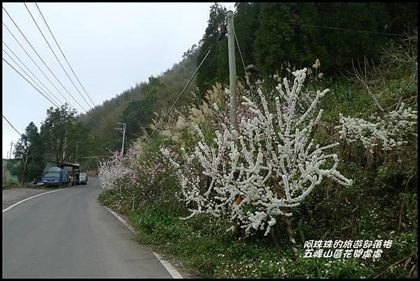 五峰山區沿路櫻花開24.JPG