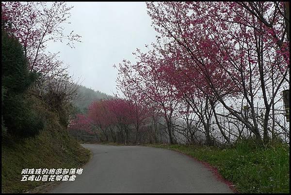 五峰山區沿路櫻花開27.JPG