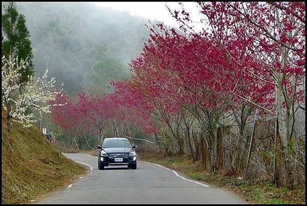 五峰山區沿路櫻花開28.JPG