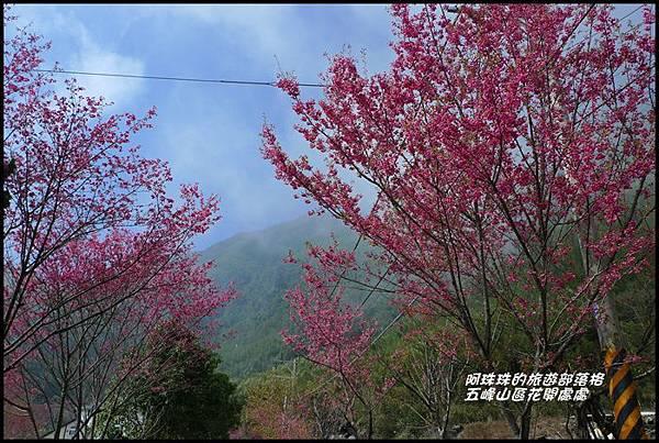 五峰山區沿路櫻花開30.JPG