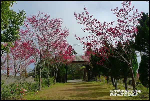 五峰山區沿路櫻花開32.JPG