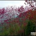 五峰山區沿路櫻花開39.JPG