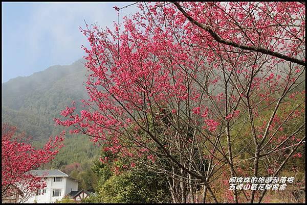 五峰山區沿路櫻花開40.JPG