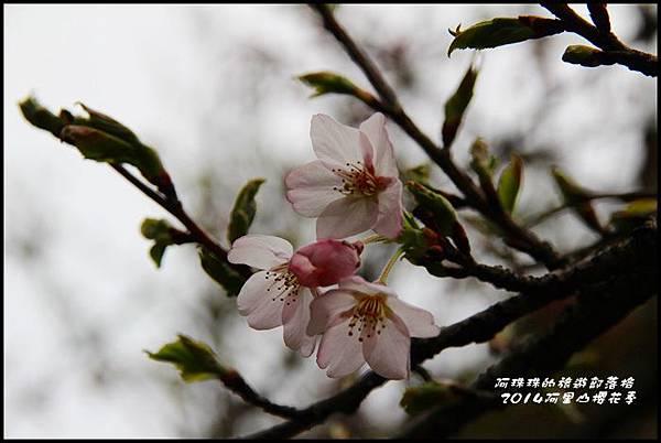 阿里山櫻花季11.JPG