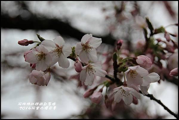 阿里山櫻花季14.JPG