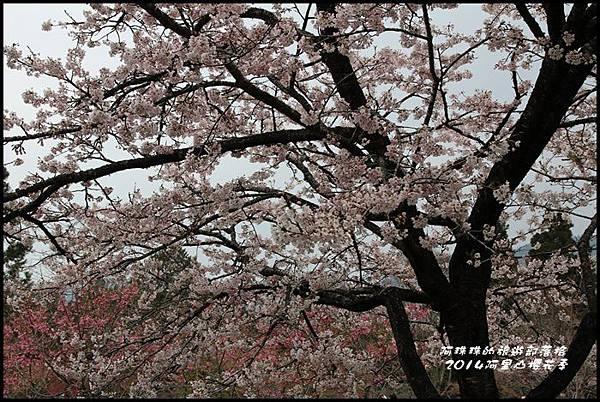 阿里山櫻花季21.JPG