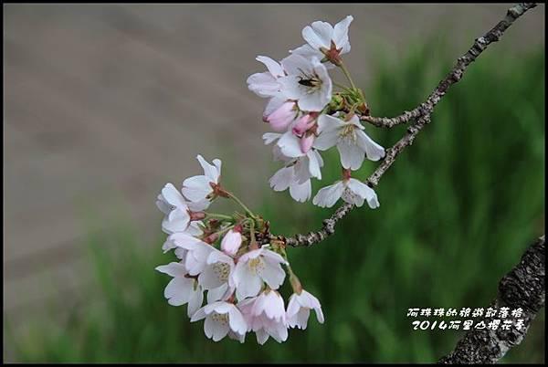 阿里山櫻花季23.JPG