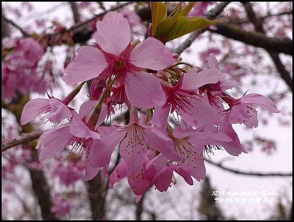 阿里山櫻花季28.JPG